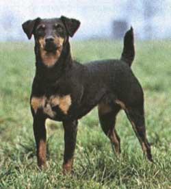 терьер фото собак