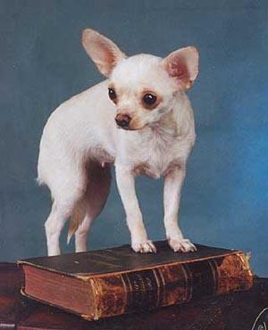 ЧИХУАХУА - самая маленькая собачка на свете и она доставит минимум неприятностей с соседями.