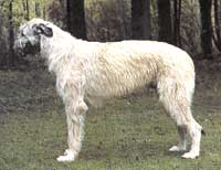 Ирландский волкодав K47